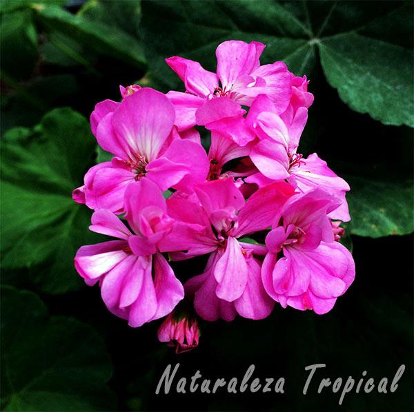 Flores de un Geranio, género Pelargonium