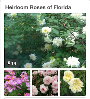Screengrab of my Pinterest board about Heirloom Roses of Florida