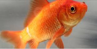 perawatan Jenis Ikan Koki Common