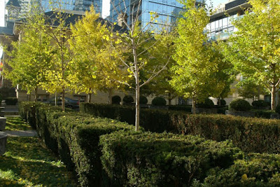 Yorkville Townhall Square with fall Ginkgo bilobas boxwood and yews by garden muses: a Toronto gardening blog