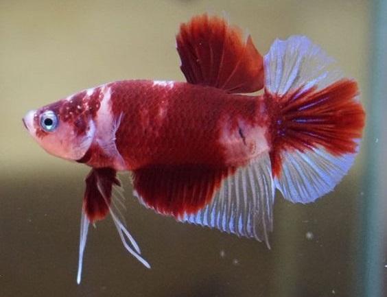 Warna Dasar Ikan Cupang Red Koi - Ikanhiasku.net