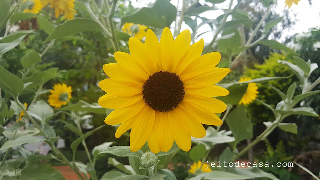 sunflower-flower