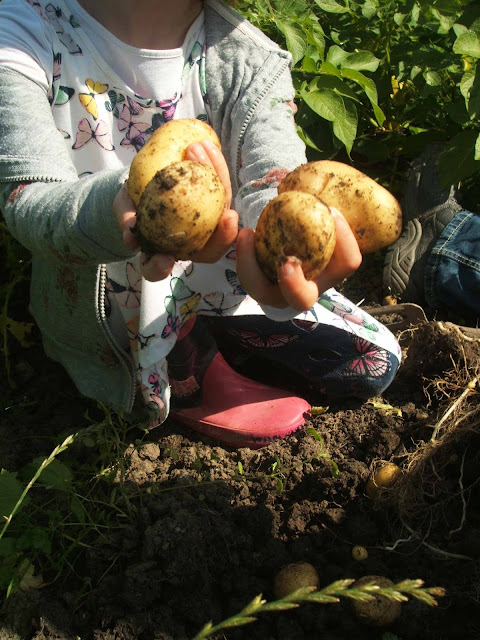 July on the allotment tasty spuds dug from the ground