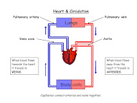 Blood Flow Through The Heart Diagram