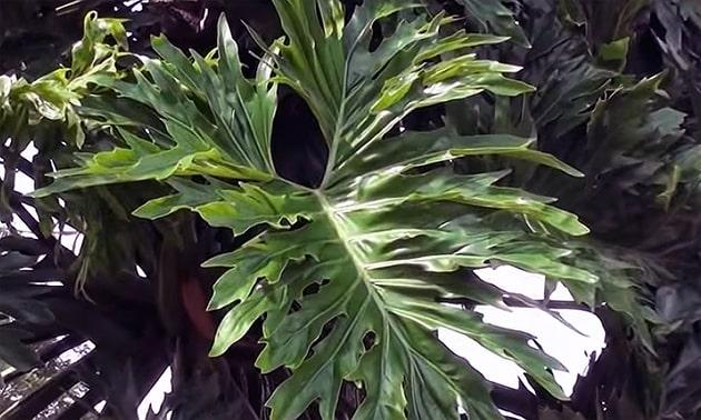 Cipo-imbé (Philodendron bipinnatifidum)
