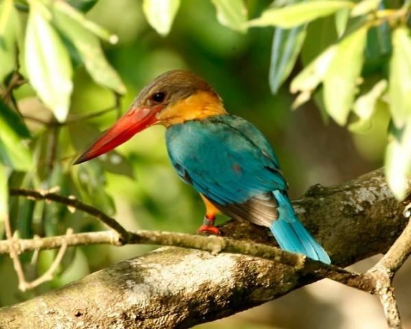 Güzelliğiyle Tüm Dünyayı Büyüleyen En Dünyanın En Güzel Kuşları - Leylek Gagalı Yalıçapkını - Kurgu Gücü