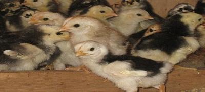 Pemeliharaan DOC Ayam Kampung Super Usia 1-21 Hari