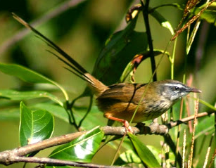 Cara Paling Jitu Membedakan Burung Ciblek Jantan Dan Betina Burung Mania