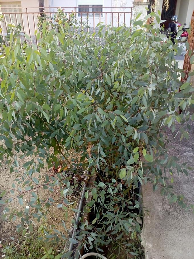 Έτοιμο το φυτώριο μας με ευκάλυπτους Melliodora να φυτευτεί...