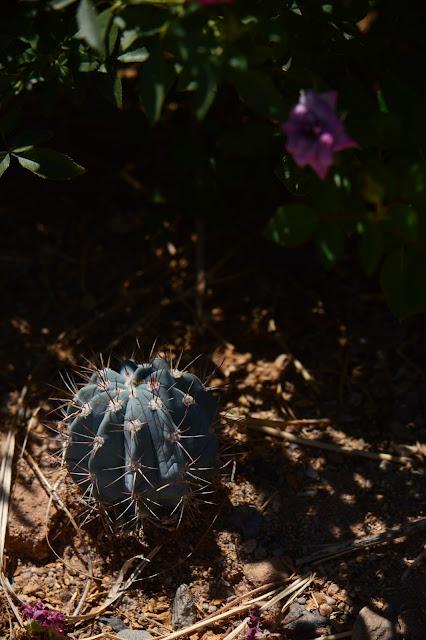 tuesday view, small sunny garden, amy myers, desert garden, photography, melocactus azureus