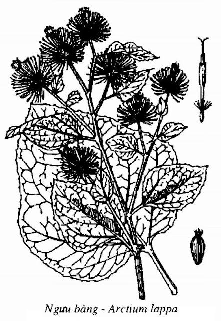 Hình vẽ Ngưu Bàng - Arctium lappa - Nguyên liệu làm thuốc Chữa Cảm Sốt
