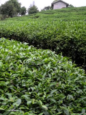 tea Camellia sinensis