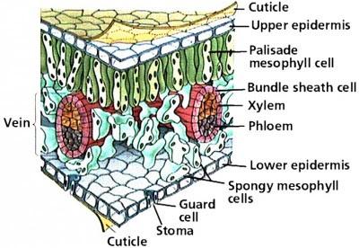 Struktur dan Anatomi Daun Pada Tumbuhan