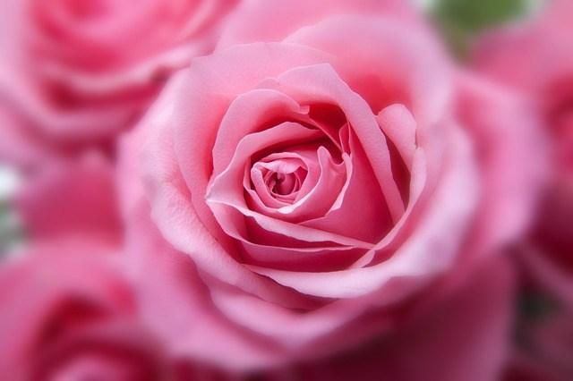 roses-194110_640.jpg