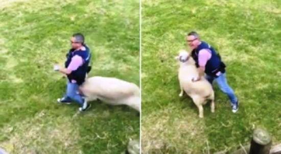 شاهد بالفيديو البحث عن خروف مطلوب للعدالة