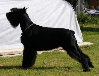 Everything about your Giant Schnauzer