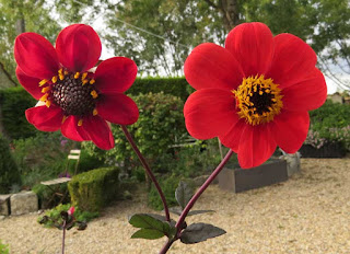 Dahlia 'Bishop's Children'