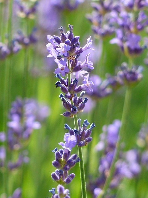 Natural Extracts Versus Essential Oils for Skin Care Lavender