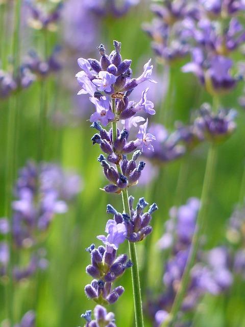 Lavender flower.jpeg