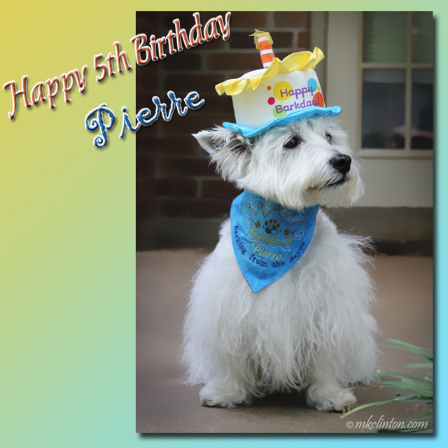 "White West Highland Terrier in birthday hat meme ""Happy 5th Birthday Pierre"""