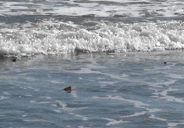 Three Sharks At Jetty Park