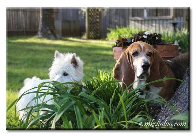 Westie and basset in garden