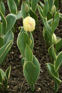 Tulipe Darwin - Silverstream