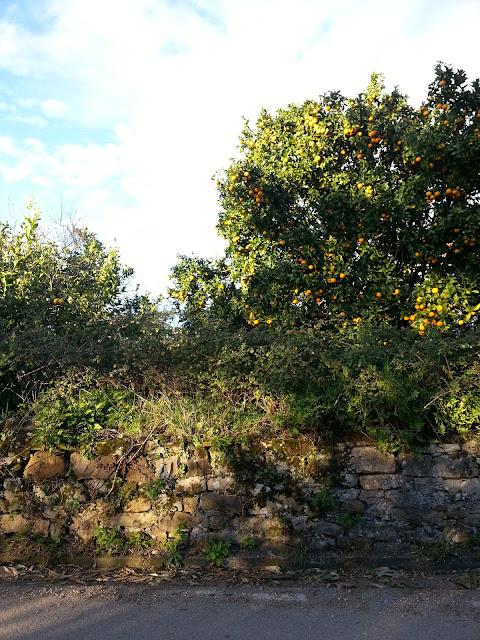 Naranjas y limones en Deva, a las afueras de Gijón