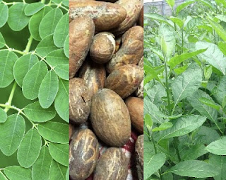 How Bitter Leaf, Kola, Moringa Other Herbs Magically Cures HIV - New Research By Medical Profs. Reveals, Validates