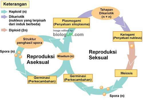 Siklus Hidup Jamur Secara Seksual dan Aseksual, Gambar, Tahapan dan Penjelasannya