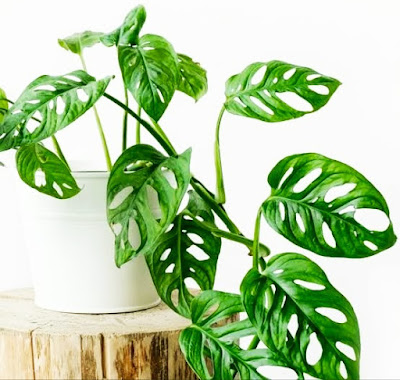 Janda Bolong tanaman hias yang mudah untuk di rawat