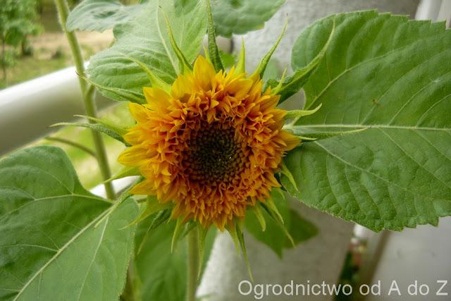 Helianthus annuus fl.pl. 'Sonnengold'