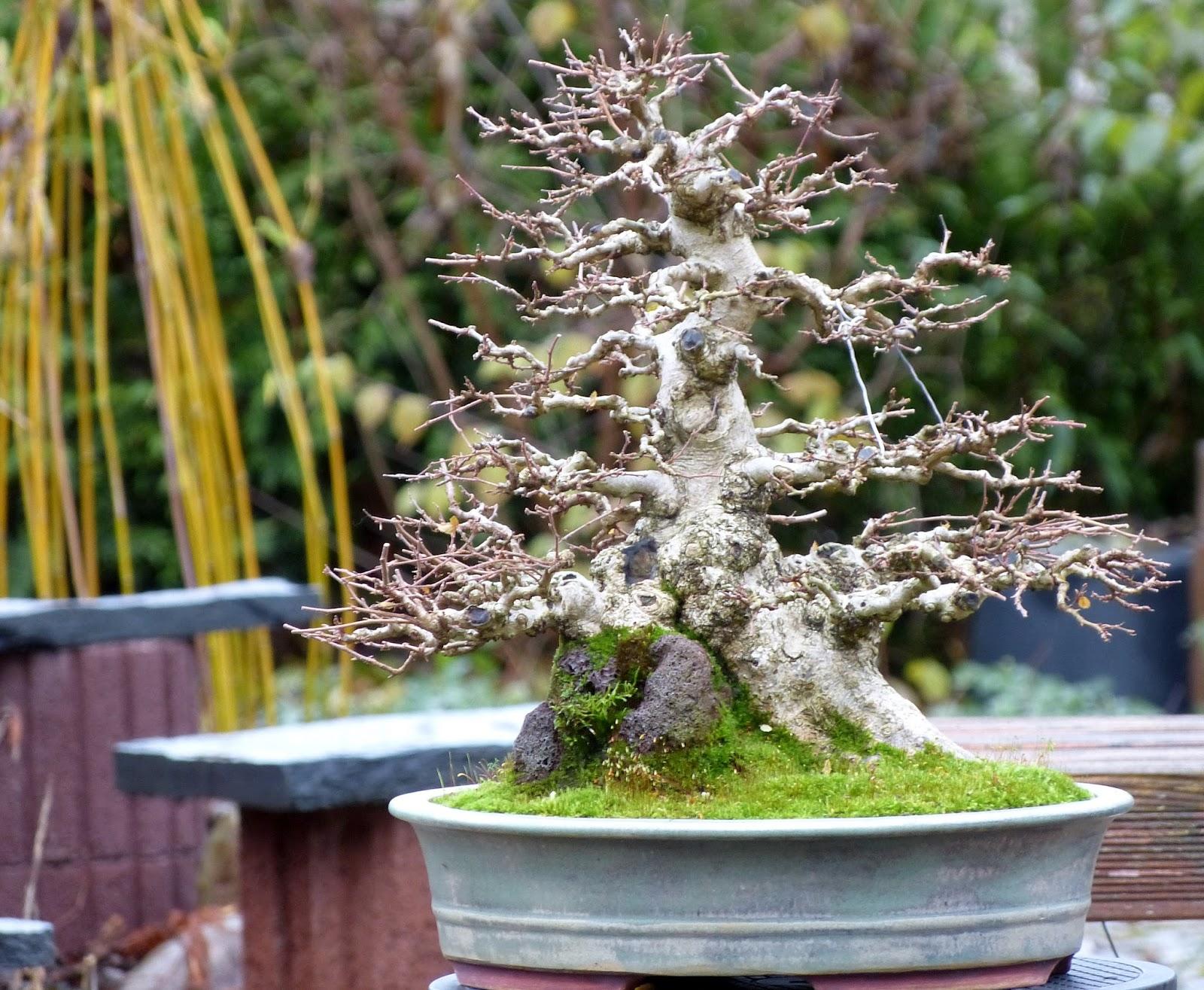 Holger39s Bonsai Blog