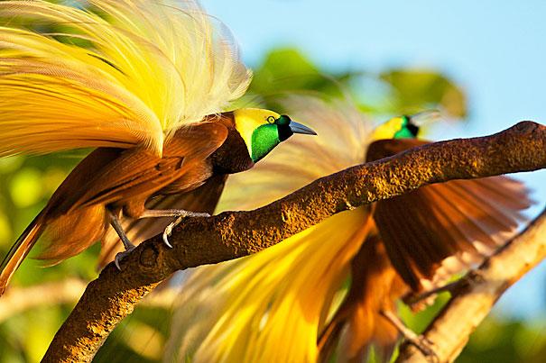 Cenderawasih, Burung Cenderawasih, Bird of paradise, Paradisaeidae