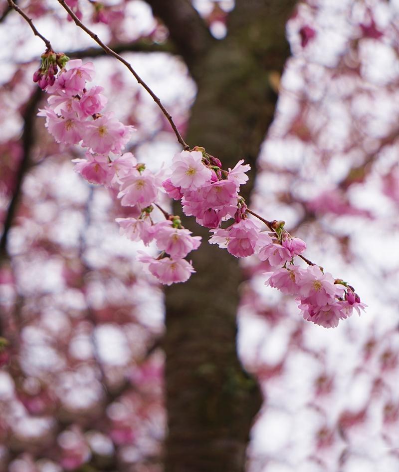 kirsikkapuu, kirsikankukka