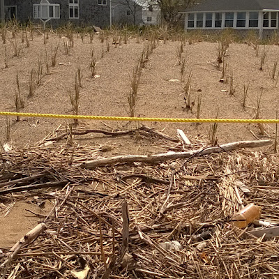 Grass plantings for dune restoration near the mouth of the Merrimack River, on Plum Island