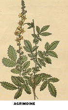 Aigremoine plante médicinale
