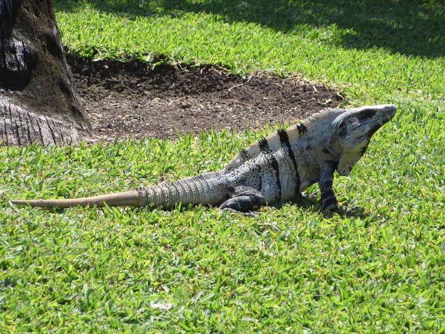 Ancient reptile Captorhinus could detach its tail to escape predator's grasp