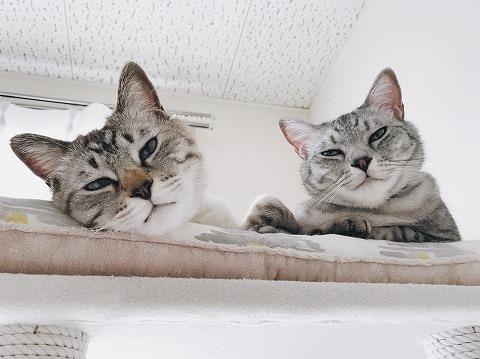 キャットタワーの上からこっちを見ているサバトラ猫とシャムトラ猫