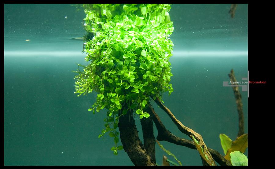 Trân châu ngọc trai mọc rũ xuống khi được buộc lên lũa trong hồ thủy sinh