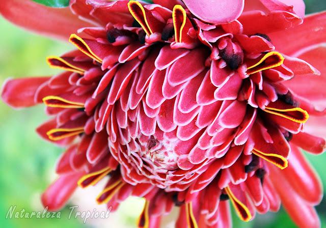 La hermosa floración de Etlingera elatior antes Nicolaia elatior, Bastón del Emperador