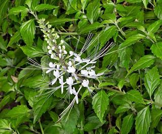 obat herbal untuk kencing nanah gonore sipilis raja singa penyakit kelamin