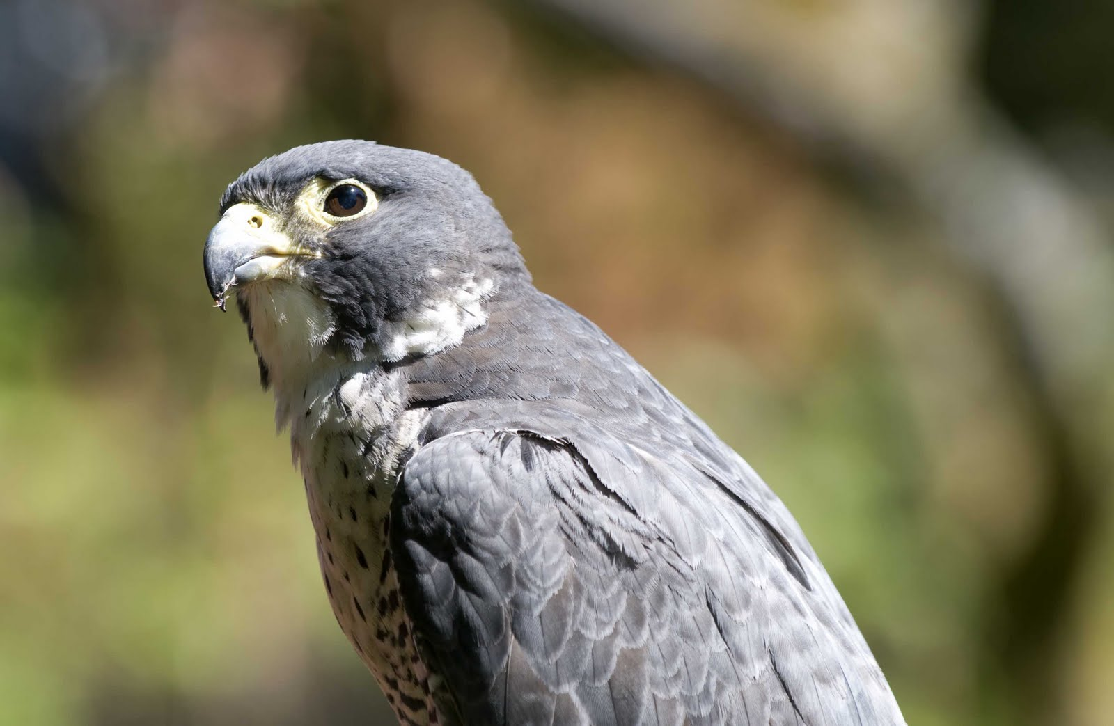 Pictures Of Birds Of Prey Washington State