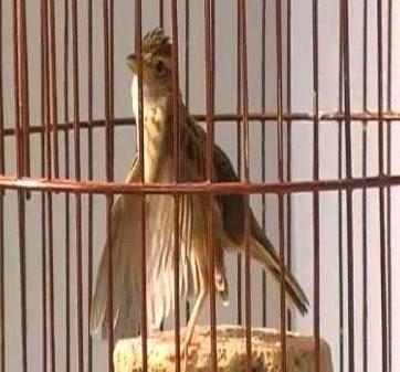 Dunia Burung Daftar Harga Burung Branjangan Di Surabaya 2015