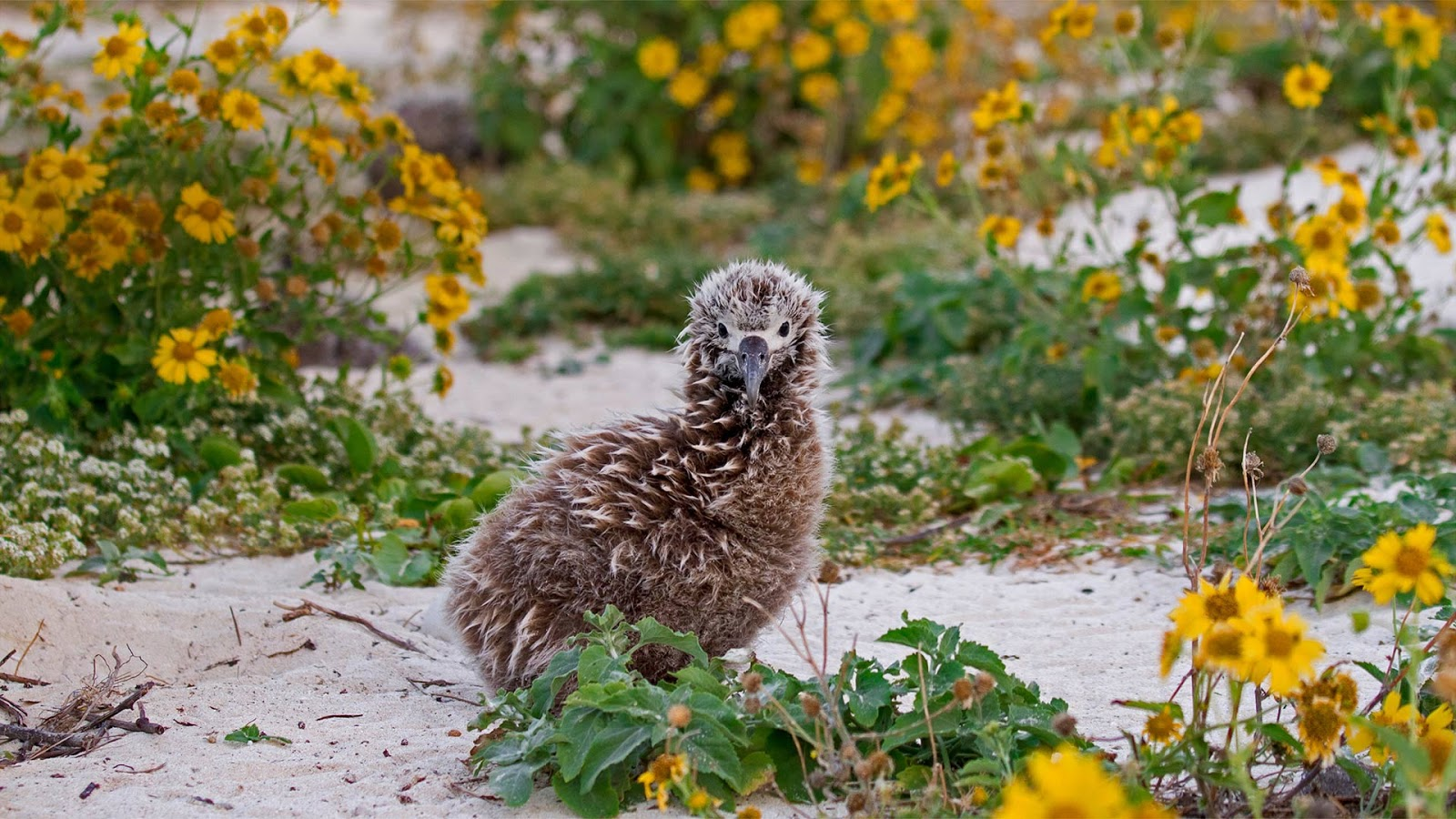 Laysan albatross chick on Midway Atoll, Hawaiian Leeward Islands © Jaymi Heimbuch/Minden Pictures