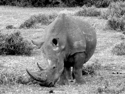 Rhino, Rhinoceros, South Africa, Kruger National Park