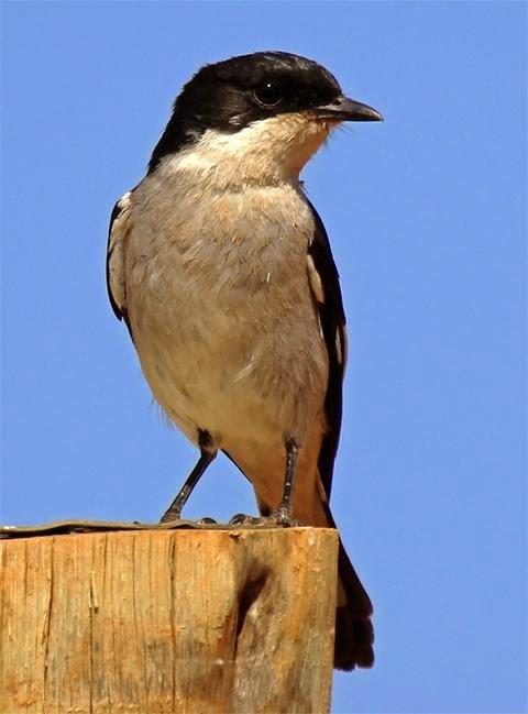 african birds Fiscal Flycatcher