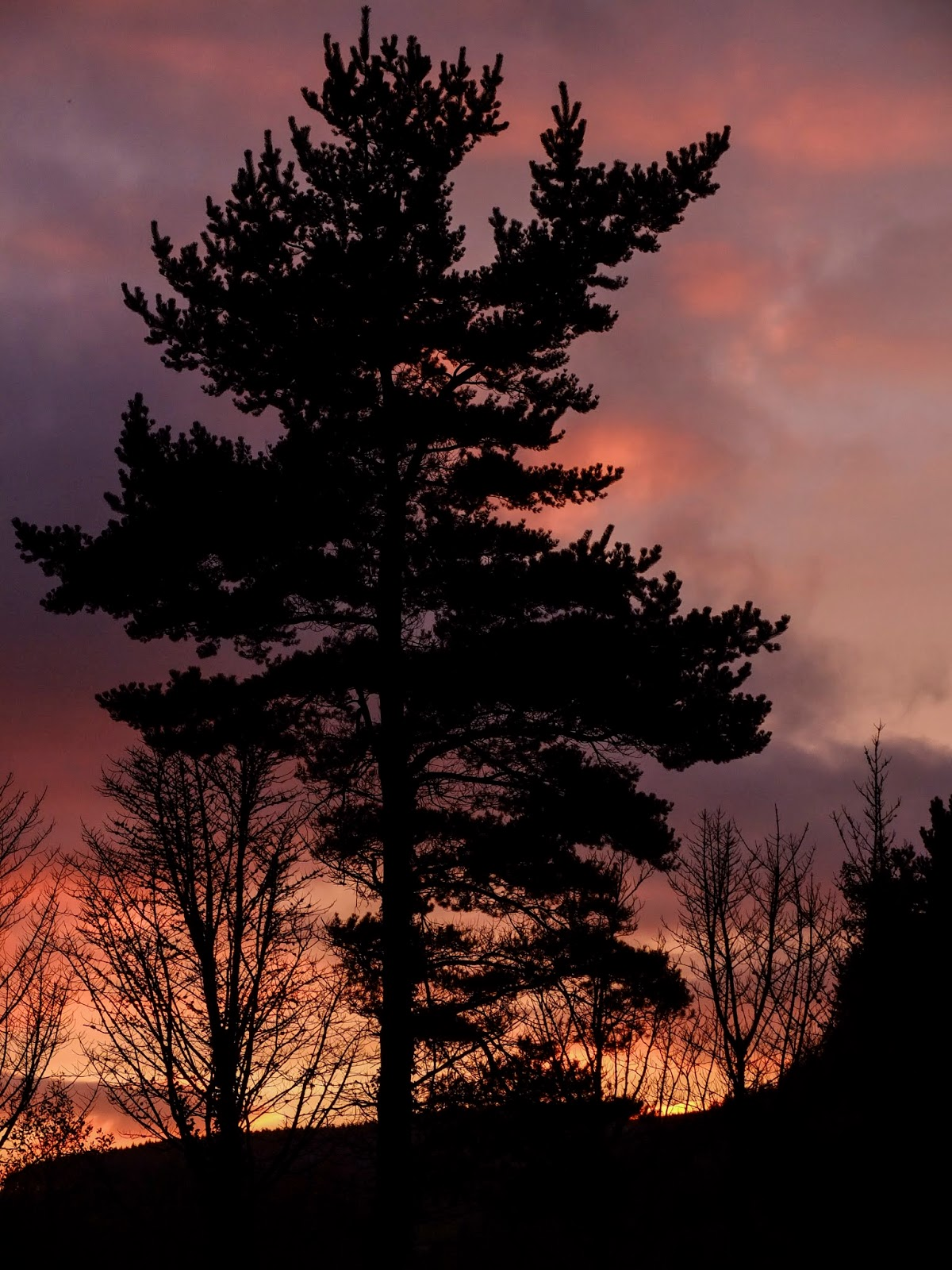 A silhouette of a conifer tree with colourful sunset clouds in the Boggeragh Mountains.