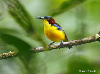Burung Madu Sangihe