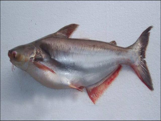 Gambar Ikan Patin
